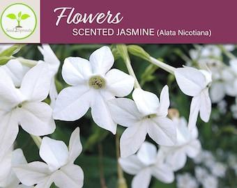 100 Scented Jasmine Alata Nicotiana Flower Seeds, Heirloom