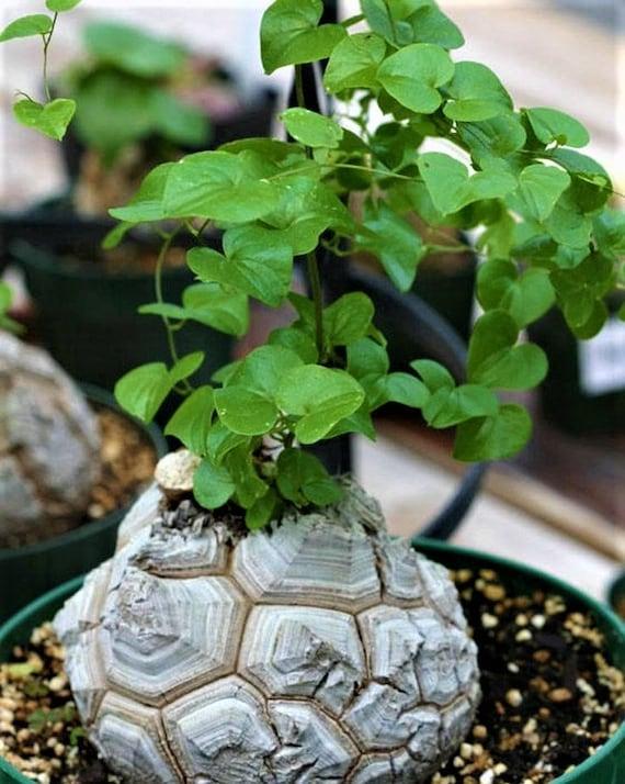 5 x Samen Dioscorea elephantipes Schildkrötenpflanze Yams Caudex-Plant Seeds