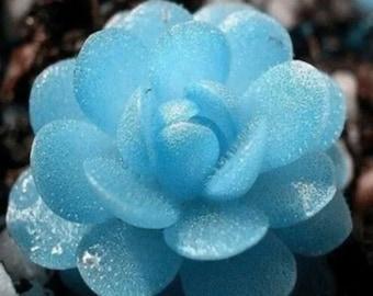 Blue Flower Succulent Seeds Rare