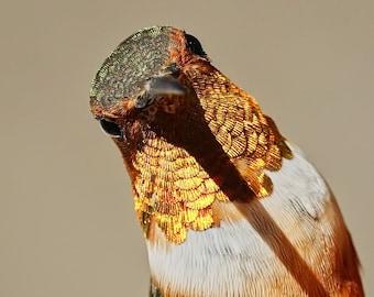 Allen's Hummingbird Color Print