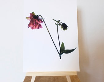 Aquilegia Flower Photograph Print