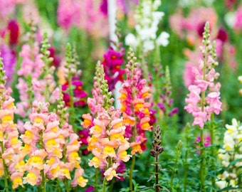 200 Pink Purple White Snapdragon Seeds Flower Perennial Flowers Seed 307 US SELL