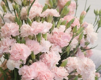 100 Le France Pink French Carnation Seeds