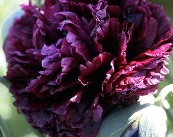 300 Black Double Peony Poppy Flower Seeds