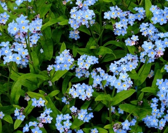 500+ Blue Forget Me Not Flower Seeds