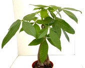 Money Tree Plant, AKA quot Yoga Plant quot - Live Plant in 4 quot Pot