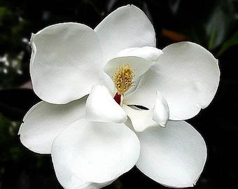 White Magnolia Flower Essence