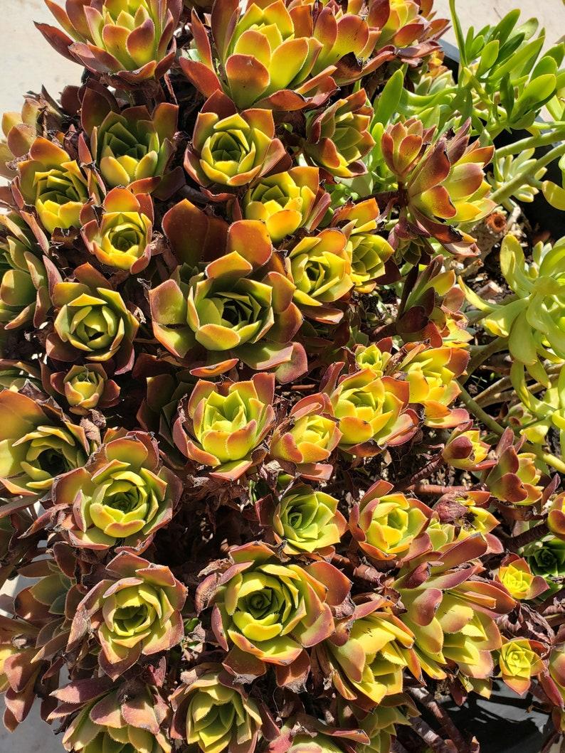 """Purple Aeonium atropurpureum  3 to 5/"""" Succulent PLANT ROOTED Cutting"""