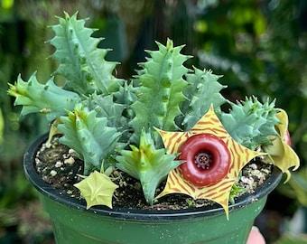 Huernia Zebrina Lifesaver Rare Cactus Succulent Live Plant