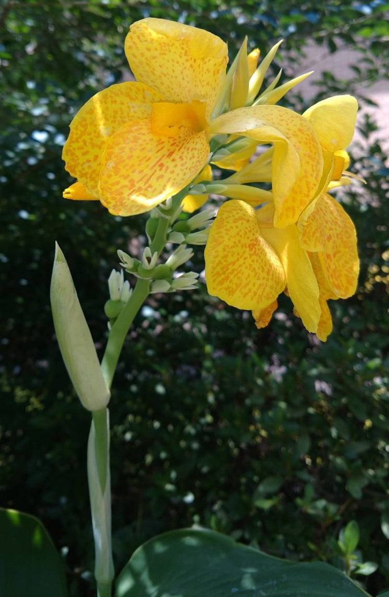 or pumpkin ruby salmon saffron Pack of 3 Canna Lily
