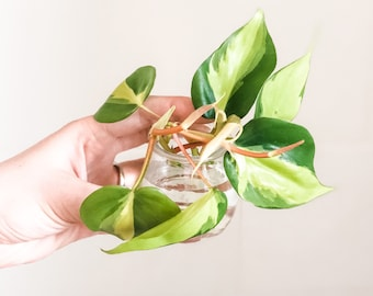 Plant cutting bundle, buyers choice, philodendron cutting, monstera cutting, hoya cutting, pothos cutting, rare plant cutting, variegated