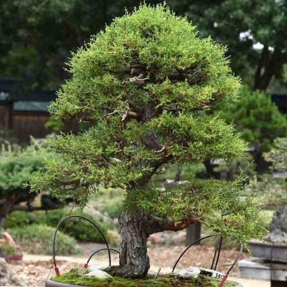 Monterey Cypress Tree Seeds Pack Cupressus Macrocarpa Tree Etsy