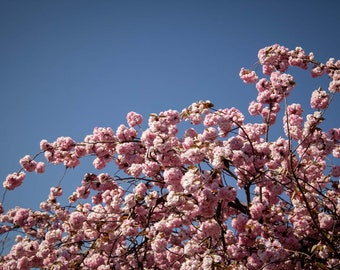 Limited Fine Art Print Cherry blossom tree, Nature photography, Flower Photography, Spring