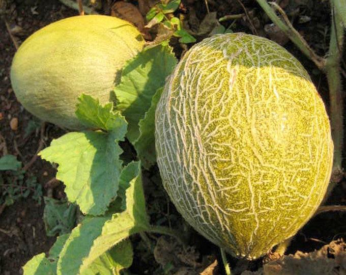 Valencia Winter Melon - RARE heirloom 15 seeds