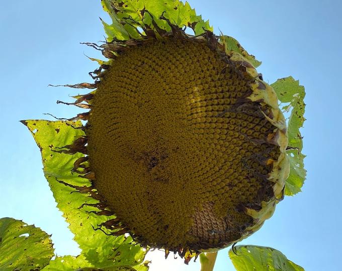 Titan Sunflower - Heirloom 10 seeds