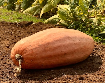 Jumbo Pink Banana Squash - RARE heirloom 10 seeds