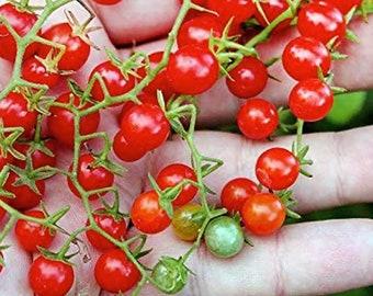 Spoon Currant Tomato - RARE Heirloom 10 seeds