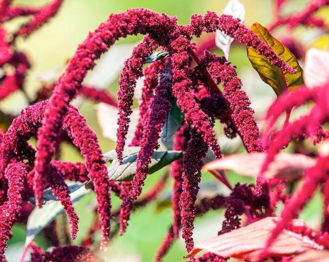 Burgundy Amaranth - Heirloom 40 seeds