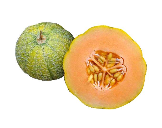Minnesota Midget Cantaloupe Melon - Heirloom 10 seeds