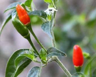Pequin Chili Pepper - Heirloom 10 seeds