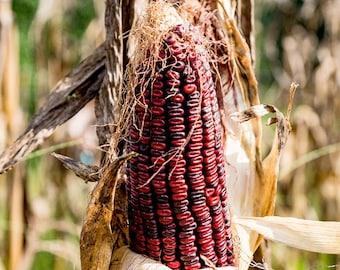 Jimmy Red Corn - Heirloom 40 seeds