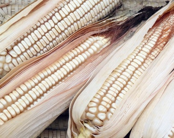 Neal's Paymaster Dent Corn - RARE heirloom seeds
