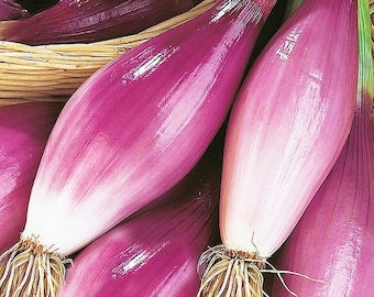 Long Red Florence Onion - Heirloom 20 seeds
