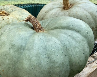Jarrahdale Blue Pumpkin - RARE heirloom 10 seeds