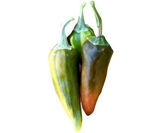 Fish Hot Pepper - RARE Heirloom 10 seeds