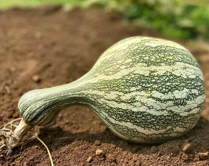 Green Striped Cushaw Squash - heirloom 10 seeds