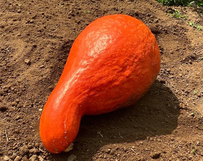 Boston Marrow Squash - Heirloom seeds