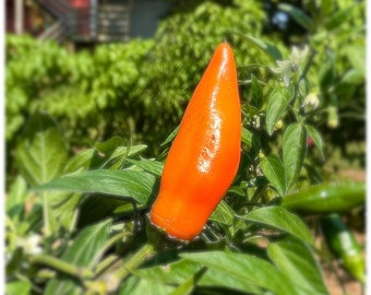 Tequila Sunrise Sweet Pepper - RARE heirloom 8 seeds