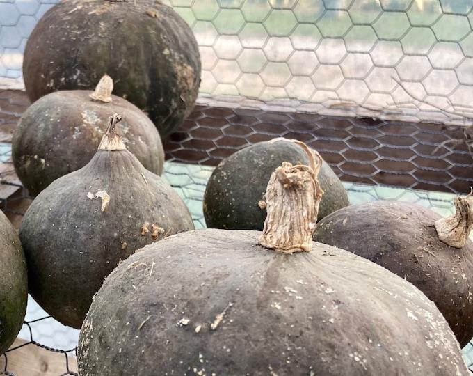 Asian Pumpkin Blue Kuri- VERY RARE heirloom 5 seeds