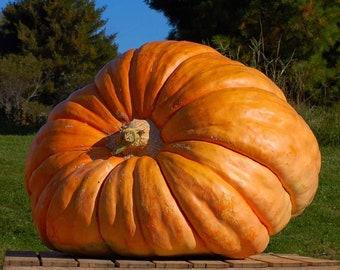 Dills Atlantic Giant Pumpkin - RARE heirloom 10 seeds