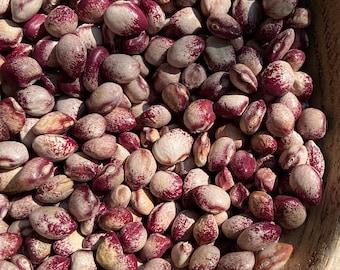 Amish Knuttle Bean - RARE heirloom 15 seeds