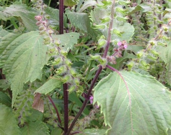 Perilla Fructescens, Shiso Dried Whole Leaf Herb 1/2 ounce