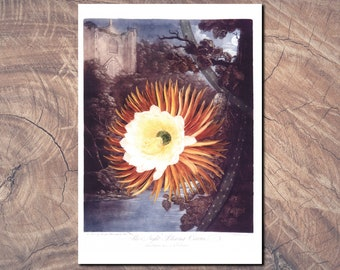 Botanical print: 'Night Blowing Cereus' by Dr. Robert Thornton. Fine art print from 19th century lithograph. Surprisingly modern look.