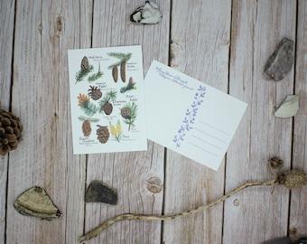 Postcard Conifers Overview Cones Vintage Forest Botany
