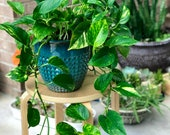 Golden Pothos in 4 nursery Pot - Houseplant - Easy Care - Extremely Hardy Indoor Plant - Looks elegant on Desk Shelf Hanging Basket