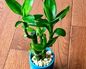 Lucky Bamboo Plant in a ceramic pot - Easy indoor low light houseplant - lndoor bamboo plant - low light indoor plant
