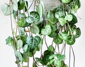 String of Heart Cuttings - Beautiful indoor succulent that grows into long vines - looks lovely on a shelf or a hanging pot