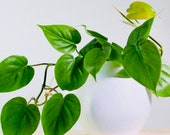 Heart Leaf Philodendron - House Plant Vine - Air purification for indoor space - Easy care - Hardy variety - Jade