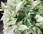 RARE Marble Pothos Cuttings - Gorgeous Variegated Indoor easy care house plant, Marble Pothos, White and Green variegation propagation plant