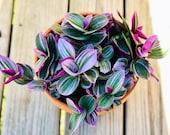 Rare Tradescantia Nanouk Lilac Plant - Rare Tradescantia Pot - Rare Pink Wandering Jew - Easy care hardy indoor houseplant in a nursery pot
