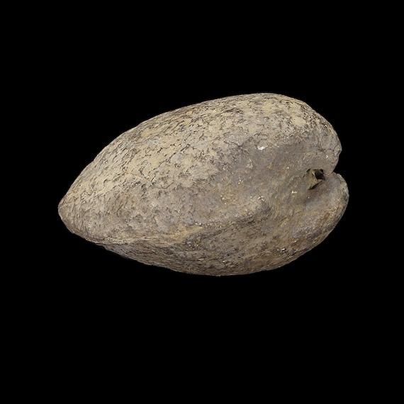 Bivalve Fossil / Locality - Jherruk-Lakhra-Bara Nai (Sind), Salt Range (Punjab) and Samana Range (N.W.F.P.), Pakistan