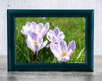 Crocus Flowers Photographic Print