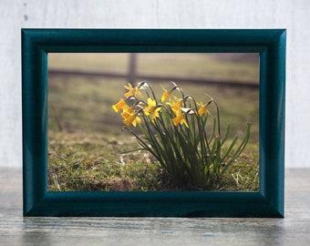 Wild Daffodils Photographic Print
