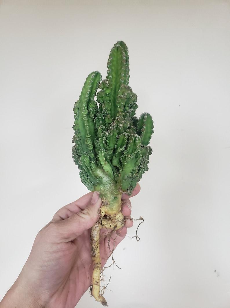 Rare Cereus Repandus cv Florida  Rare Italian Import