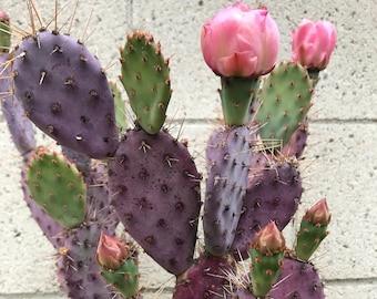 Santa Rita, Baby rita, rare purple dwarf cactus, Opuntia Basilaris, Prickly Pear, Amethyst Wave, cactus, succulent