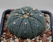 Astrophytum asterias cactus, cactus, succulent, live plant